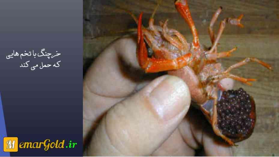تصویر: تخم گذاری خرچنگ ها