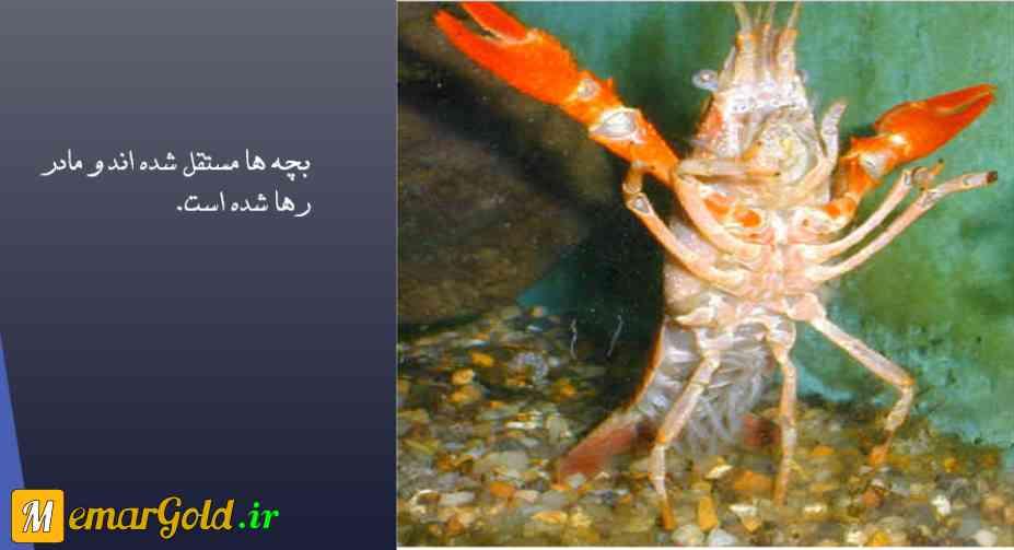 تصویر: بچه خرچنگ ها ، دانلود پروژه تحلیل زندگی خرچنگ